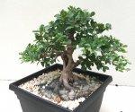 Good Size Field Grown Viburnum Bonsai Nut