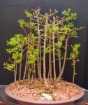 penjing-grouping-larch 4-17 015.JPG