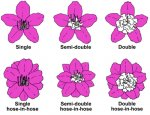 Azalea petal types.jpg