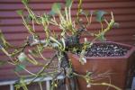 hokkaido willow 2.png