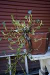 hokkaido willow 4.png
