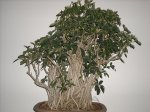 mangrove-root-schefflera-bonsai-grouping-front-ricks-tree-art.jpg