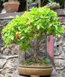 west indian cherry 1 IBC.jpg