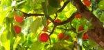west indian cherry 2 IBC.jpg