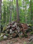 Pine Slovenia .jpg