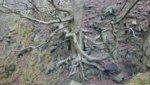 Root over Rock Beddgelert .JPG