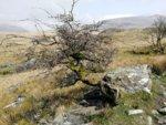Hawthorn Snowdon.jpg