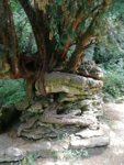 Yew root over rocks Devils Pulpit Wye Valley.jpg