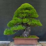 pine bonsai.jpg