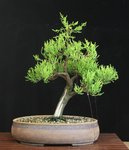Info On Lemon Cypress Bonsai Nut
