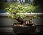 Vine Maple - 1.jpg