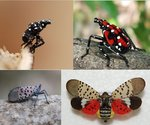 spotted-lanternfly-nymphs-adults.jpg