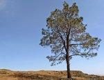 gray-pine.jpg