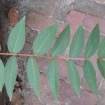 crape leaves.jpg