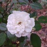 white rose today.jpg