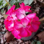 geranium today.jpg