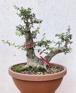 20200830_07_bonsai_olive_09b.jpg