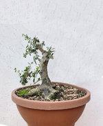 Ugly olive 1R.JPG