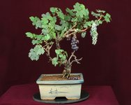 grape-bonsai-tree.jpg