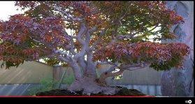 acer palmatum shishi01.jpg