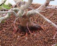 acer palmatum beni tsukasa 2021 01 05 003virt.jpg