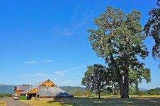 valley oak.jpg