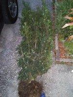1 podocarpus at take home.jpg