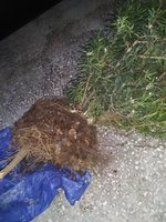 2 podocarpus at first with tap-root and fine roots.jpg