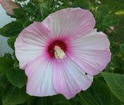hardy hibiscus 2.jpg