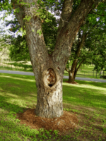 tree-with-hole.png
