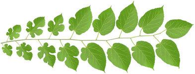 white-mulberry.jpg