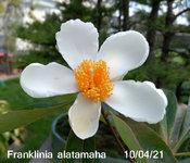 Fa 100421 flowering.JPG