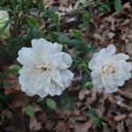 white rose now.jpg