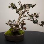 English Ivy white.png
