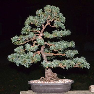 How Should I Go About Acquiring Blue Atlas Cedar Bonsai Nut