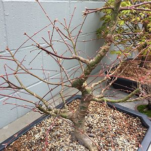 Trees for BVFs Secret to Growing Bonsai Thread