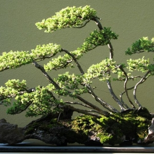 Creeping Juniper (Raft Style)