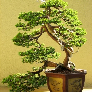 Chinese Juniper (Informal Upright)
