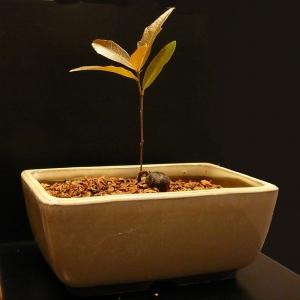 Baby Live Oak