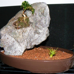 Kingsville boxwood on Rock
