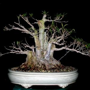 Ficus nerifolia rework  02/27/07