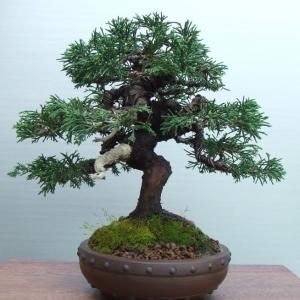 Juniperus c. Itoigawa