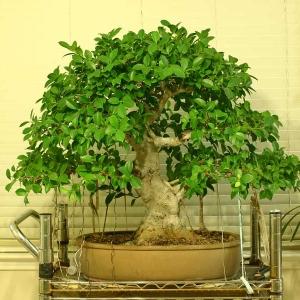 My Ficus Microcarpa