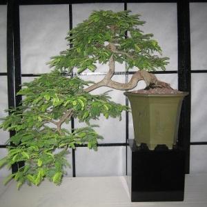 Sweet Tamarind Tree