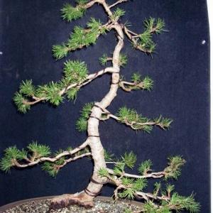 Potential Lodgepole Pine Literati