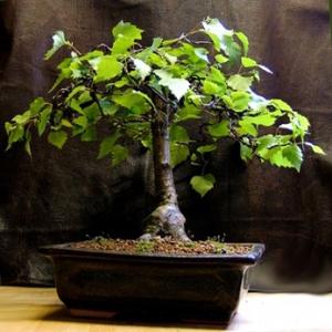 Betula species (Silver Birch)