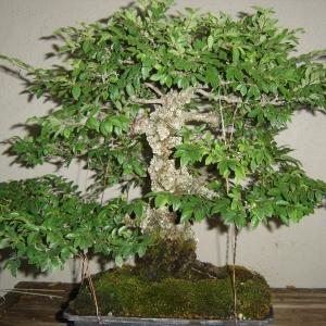 Cork Bark Elm