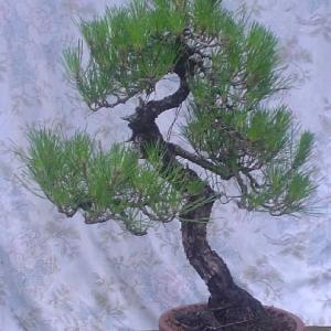 Black pine update