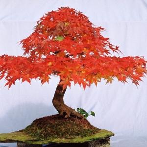 Acer Palmatum.