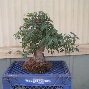 bonsai_91109_012